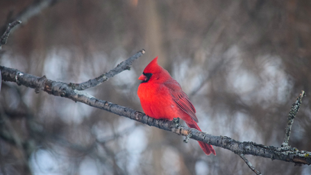 Red cardinal sitting on a tree branch in winter.